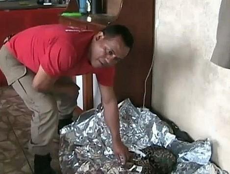Corpo de bombeiro e polícia ambiental cuidaram do filhote de onça captirado (Foto: Bom dia Amazônia)