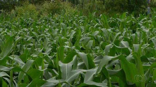 Área plantada do milho safrinha será de 138 mil hectares no Tocantins