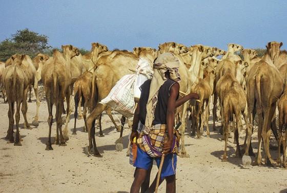 Dois pastores levam seus dromedários pelas areias do deserto da Somalilândia  (Foto: © Guilherme Canever)