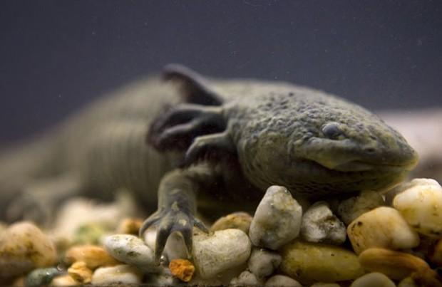 """Foto de 2008 mostra o axalote, salamandra conhecida como """"monstro aquático"""" corre risco de extinção (Fot AP Photo/Dario Lopez-Mills, File)"""