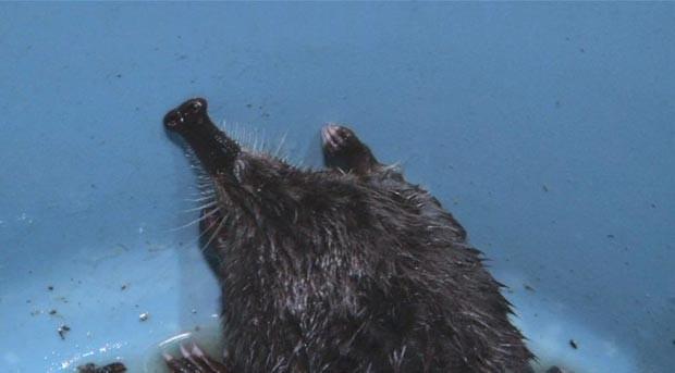 Rara toupeira aquática é flagrada em montanhas da Espanha (Foto: BBC)