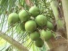 Agricultores contratam funcionários para fazer a colheita de coco em SE