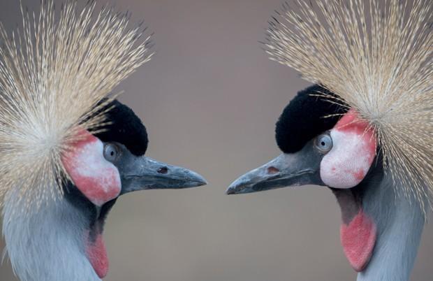 Grous-coroados-orientais foram flagrados dando uma 'encarada' nesta quinta-feira (4) no zoológico de Berlim (Foto: AP Photo/dpa, Tim Brakemeier)