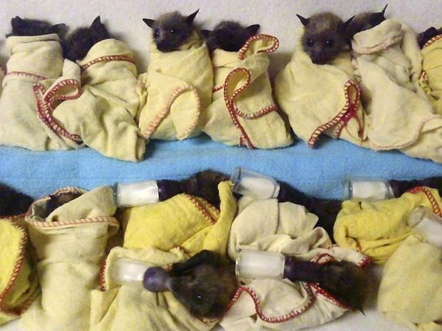 Filhotes de morcegos são protegidos e amamentados em clínica de ONG em Queensland (Fot Trish Wimberley/Australian Bat Clinic/AP)