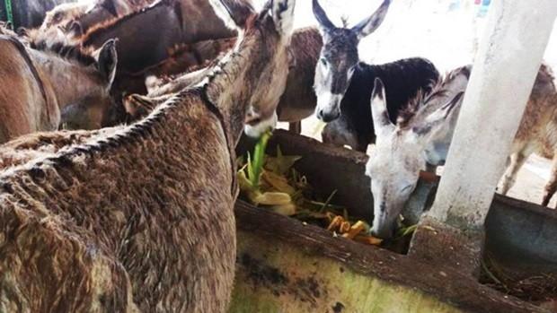 Área de criação de jumentos em Carpina (PE) para produção de leite; investidores estrangeiros visam produto para produção de queijo nobre (Foto: Divulgação)