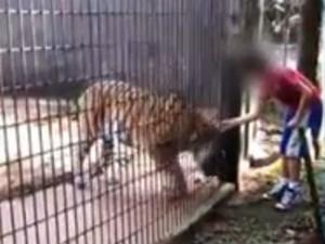 Tigre atacou a criança no zoológico de Cascavel (Foto: Reprodução/RPCTV)
