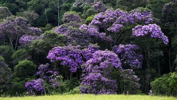 Manacá-da-serra (Foto: Giselda Person/ TG)