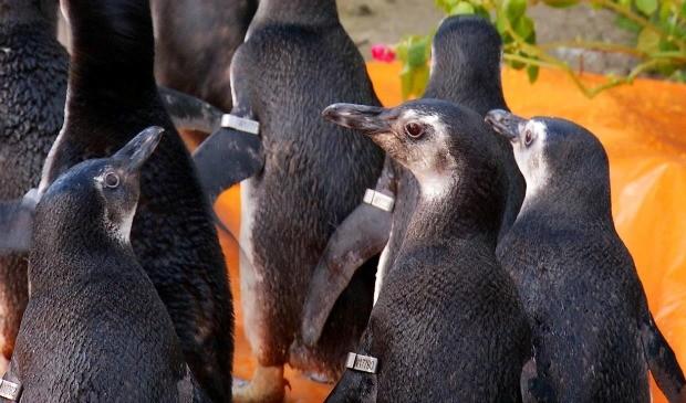 Pinguins receberam identificação com anilhas de metal. (Foto: Divulgação/Iema)