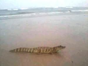 Jacaré foi encontrado em praia de Itanhaém, no litoral de São Paulo
