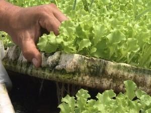 Alface hidropônica é produzida em Roraima  (Foto: Reprodução Rede Amazônica Roraima)