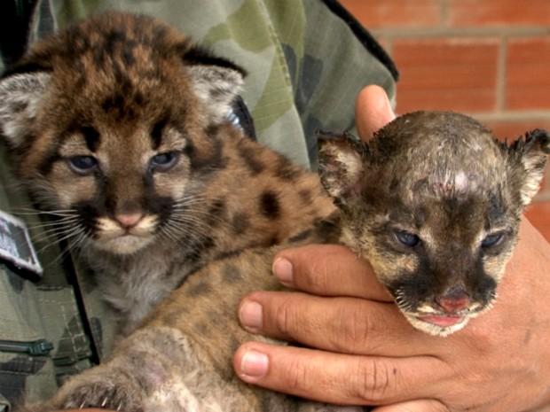 Filhotes de onça parda foram levadas para o zoológico de Dois Vizinhos (Foto: Reprodução RPC)