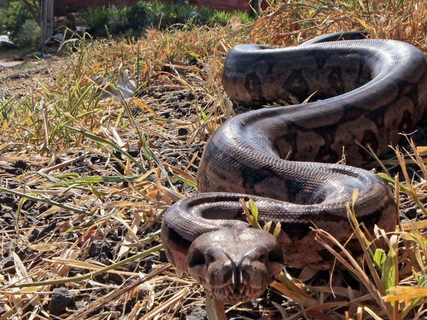 Serpente tinha cerca de quatro metros, segundo fotógrafo de Piracicaba (Foto: Mateus Medeiros/Arquivo pessoal)