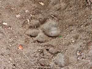 Pegadas foram encontradas ao lado de bezerro que apareceu morto (Foto: Romário Barros/Lei Seca Maricá)