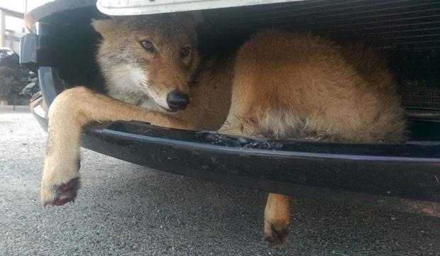 Coiote sobreviveu após ficar preso em grade após atropelamento nos EUA (Foto: Reprodução/Facebook/Flint Creek Wildlife Rehabilitation)