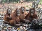 Incêndios na Indonésia deixam orangotangos doentes e famintos