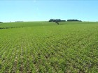 No RS, o aparecimento de doenças no trigo deixa os produtores em alerta