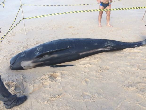 Animal era fêmea e meia pouco mais de três metros (Foto: Ong Projeto Chauá/Acervo pessoal)