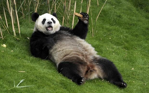 Panda curte a 'boa vida' bastante à vontade em parque na Bélgica (Foto: Laurent Dubrule/AP)
