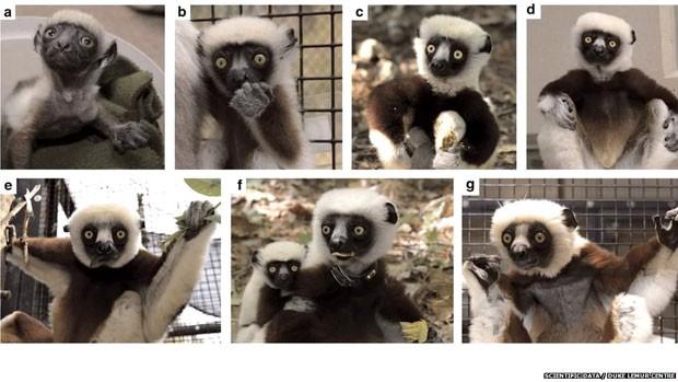 O centro de estudos sobre lêmures da Universidade de Duke, nos EUA, disponibilizou na internet uma base de dados de 48 anos sobre a vida de 3,6 mil destes primatas. Na imagem, os estágios de vida de um sifaka diademado.  (Foto: Duke Lemur Centre/ BBC)