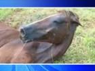 Égua morre após ser encontrada em situação de maus-tratos