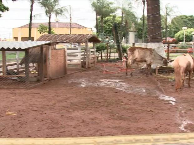 Presépio em Ariranha tem animais de verdade na encenação (Foto: Reprodução/TV TEM)