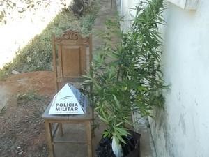 Jovem cultiva pés de maconha em casa na cidade de Morada Nova (Foto: Polícia Militar/Divulgação)