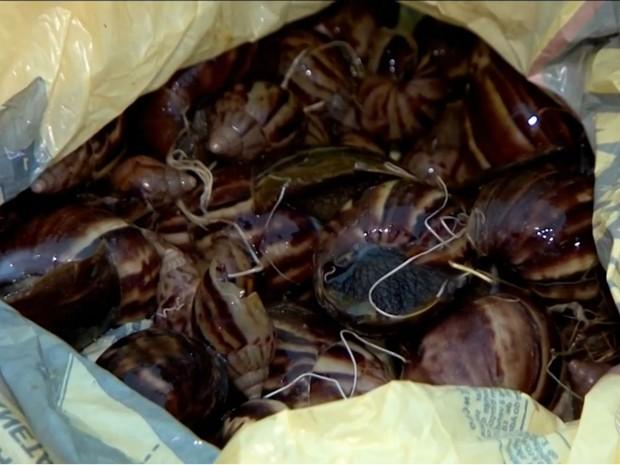 Cidade de Ilhéus, na Bahia, tem infestação de caramujos (Foto: Reprodução/TV Santa Cruz)