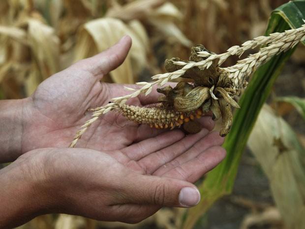 Plantação de milho danificada pela seca nos Estados Unidos; alta nos preços pode provocar crise alimentar, segundo a ONU (Foto: Jeff Tuttle/Reuters)