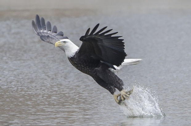 Uma águia foi fotografada em uma posição curiosa ao ser flagrada capturando um peixe no lago Manawa, no estado do Iowa (EUA). A cena foi registrada no dia 16 de fevereiro (Foto: Nati Harnik/AP)