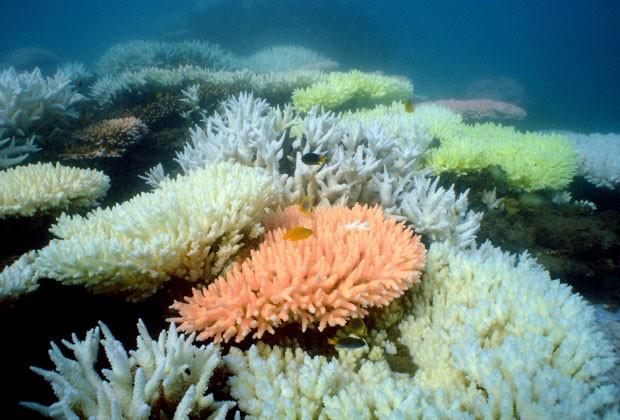 Foto sem data recebida pelo Instituto Australiano de Ciência Marinha em outubro de 2012 mostra corais sem cor na Grande Barreira de Corais australiana (Foto: Ray Berkelmans / AIMS / AFP)