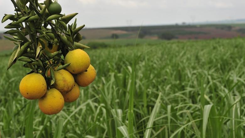 laranjeira-laranja-gr-responde (Foto: Ernesto de Souza / Editora Globo)