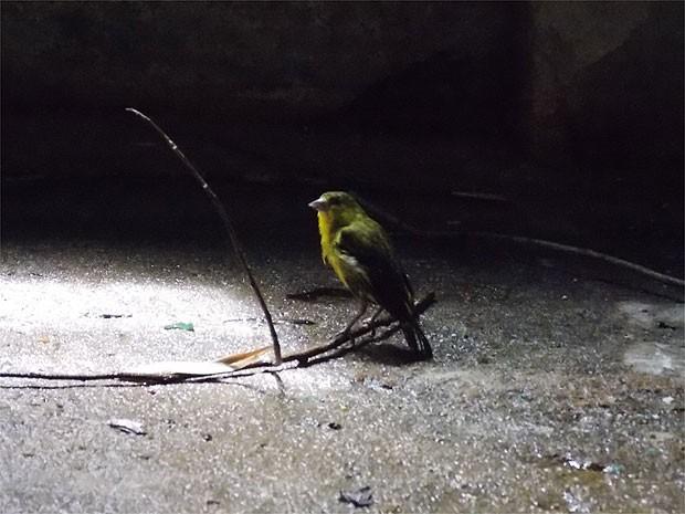 Um pássaro da espécie Pintasilgo do Nordeste, que está ameaçda de extinção, está entre os apreendidos na Bahia (Foto: Lílian Marques/ G1)