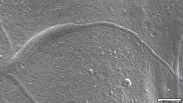 Acredita-se que espermatozóide seja o mais antigo já encontrado (Foto: Biology Letters/BBC)