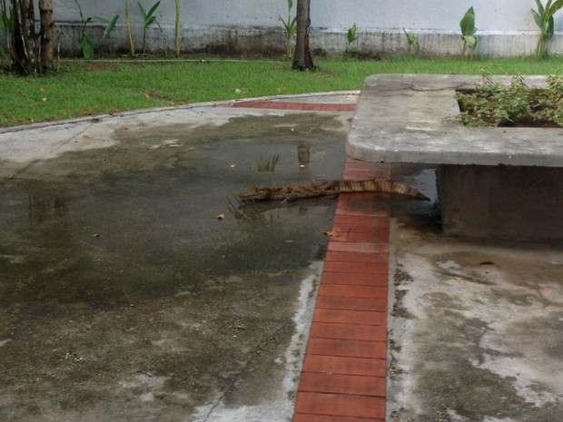 Jacaré surgiu em cantina de colégio na Zona Centro-Sul de Manaus (Foto: Divulgação)