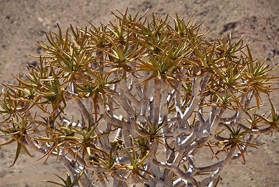 As folhas do kokerboom modificam de cor com a idade, variando do verde ao marrom (Foto: © Haroldo Castro/ÉPOCA)