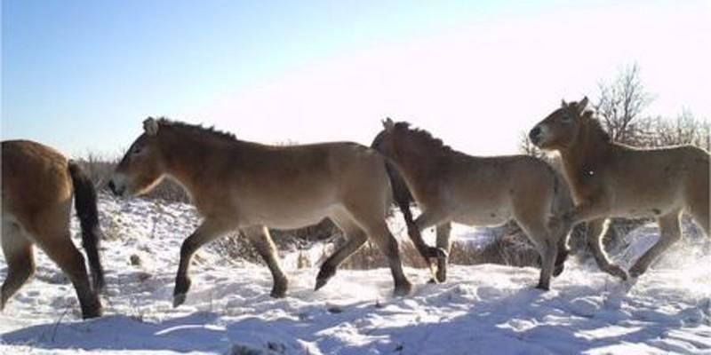 Os cavalos-de-przewalski estão em extinção. Ainda assim, podem ser encontrado na zona de exclusão de Chernobyl (Foto: Reprodução/Universidade de Salford)