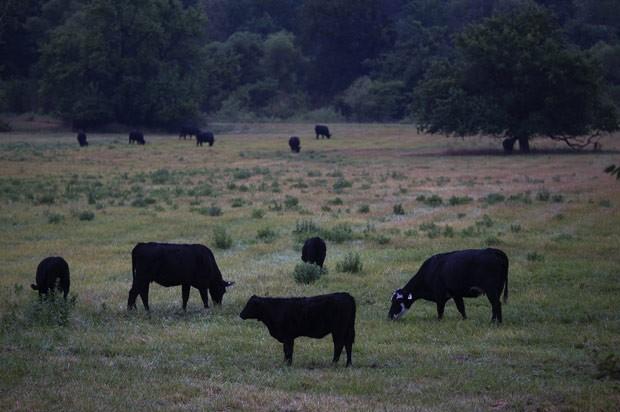 Gado pasta em gramado afetado pela seca em Paris, no estado americano de Missouri, nesta sexta-feira (13) (Foto: AFP)