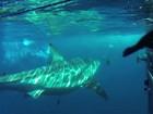 Foca escapa de tubarão ao se proteger em gaiola de mergulhadores