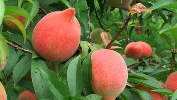 Com ajuda do clima, dobra a produção de pêssego em Irati  (Foto: Reprodução RPC)
