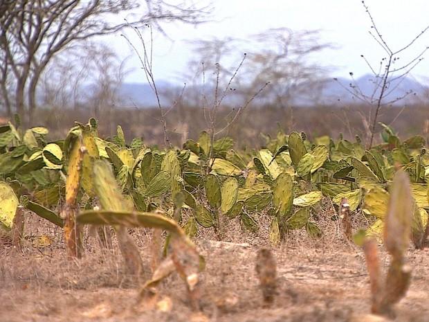 Nem a plantação de palma resite às altas temperatutra no Sertão de Sergipe (Foto: Zé Mário Braga)