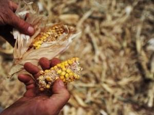Perdas agropecuárias já somam mais de R$ 2 bi (Foto: Emater/Divulgação)