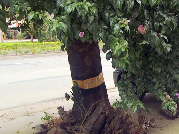 Árvore envenenada virou caso de polícia (Foto: Jéssica Balbino/ G1)