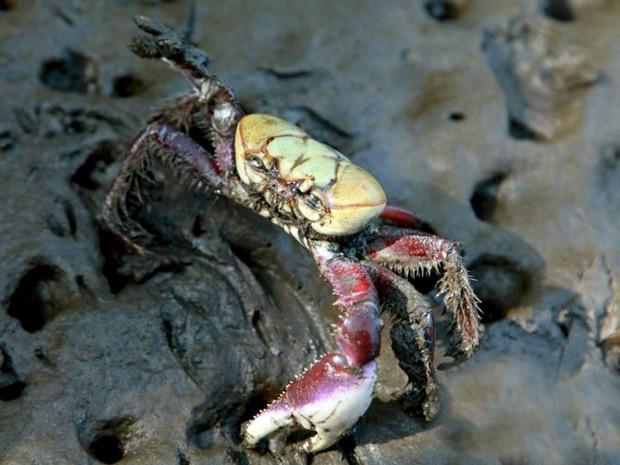 Grupo de Pesquisa em Biologia de Crustáceos (CRUSTA) da Unesp começou a fazer pesquisas sobre o caranguejo-uçá  (Foto: Divulgação/CRUSTA)