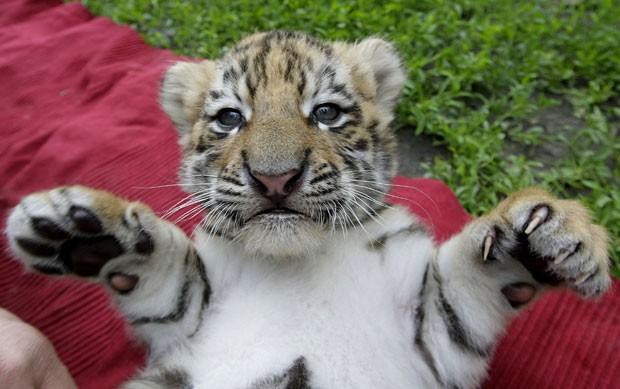 Felinos já estão com seis semanas de vida (Foto: Reuters/Stringer)