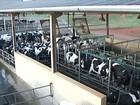 Criadores de gado leiteiro retomam a produção