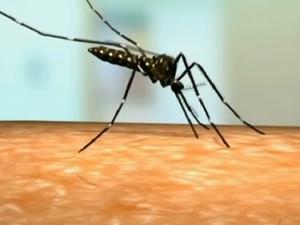 mosquito da dengue (Foto: Reprodução/TV Globo)