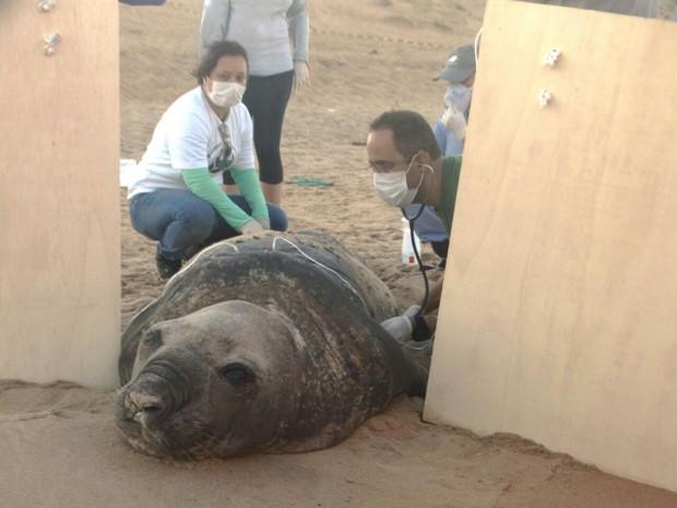 Elefante-marinho 'Fred' é recolhido de praia para tratamento (Foto: Alvaro Muniz/ Divulgação Seama)