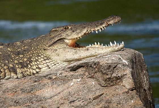 Um crocodilo-do-nilo em um rochedo no meio do rio Nilo Branco, em Uganda  (Foto: © Haroldo Castro/ÉPOCA)