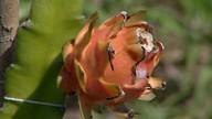 Fruta pitaya ganha a atenção de pesquisadores de Campos dos Goytacazes