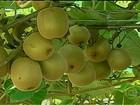 Produtores de kiwi do Rio Grande do Sul esperam bons preços para safra